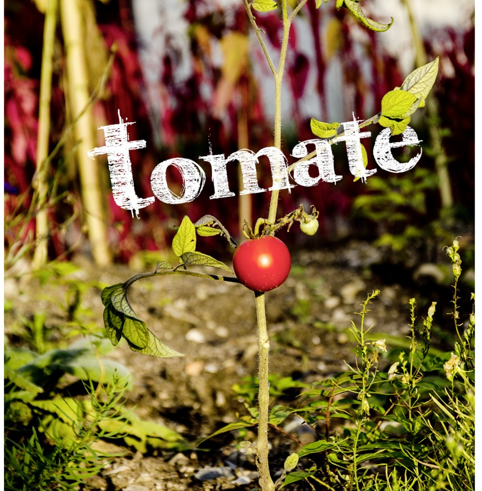tomate-reif-rot